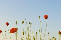 Pavots atteignant pour le ciel en début de la matinée. Image stock