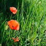 Pavots d'écarlate dans la perspective d'herbe verte Images stock