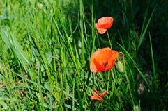 Pavots d'écarlate dans la perspective d'herbe verte Images libres de droits