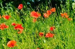 Pavots d'écarlate dans la perspective d'herbe verte Foyer dessus Image libre de droits