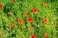 Pavots d'écarlate dans la perspective d'herbe verte Foyer dessus Photos libres de droits