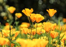 Pavots d'or fleurissant au jardin botanique de côte sud, Palos Verdes Peninsula, le comté de Los Angeles, la Californie photos stock