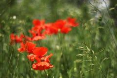 Pavots dans l'herbe verte avec l'imprécision intéressante Photographie stock libre de droits
