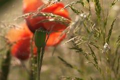 Pavots dans l'herbe verte avec l'imprécision intéressante Photographie stock