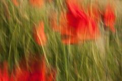 Pavots dans l'herbe verte avec l'imprécision intéressante A Photo stock