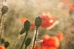 Pavots dans l'herbe verte avec l'imprécision intéressante D Photographie stock
