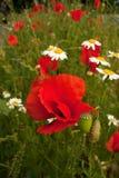 Pavots dans l'herbe verte avec l'imprécision intéressante D Images stock