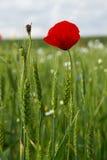 Pavots dans le domaine de blé Image libre de droits