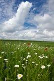 Pavots dans le domaine de blé Images stock