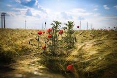 Pavots dans le domaine de blé d'or Photo libre de droits