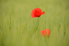 Pavots dans le domaine de blé vert Image stock