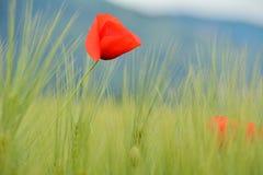 Pavots dans le domaine de blé vert Image libre de droits