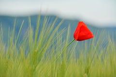 Pavots dans le domaine de blé vert Photos stock
