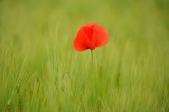 Pavots dans le domaine de blé vert Images libres de droits