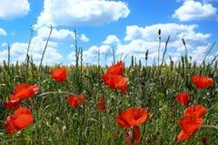 Pavots dans un champ de maïs d'été Photos libres de droits