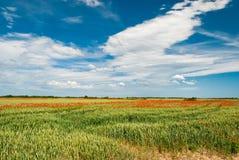 Pavots dans un domaine de blé Image stock