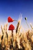 Pavots dans un domaine de blé Images stock