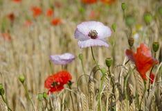 Pavots dans un domaine de blé Photographie stock