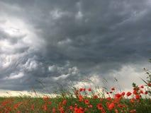 Pavots dans une tempête Photos libres de droits