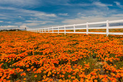 Pavots de Californie Photos stock