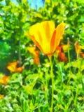 Pavots de Californie Images stock