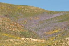 Pavots de Californie et de loup en pleine floraison, passage de Tejon Photographie stock libre de droits