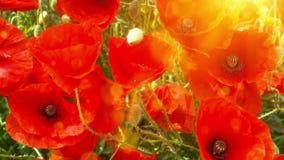 Pavots de floraison le jour ensoleillé d'été Fond de nature clips vidéos
