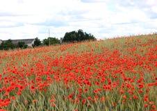 Pavots de floraison image stock
