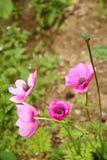 Pavots de floraison roses Photo stock