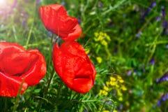 Pavots de floraison de rouge dans l'herbe verte Photo libre de droits