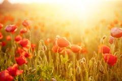 Pavots de floraison scéniques dans la lumière de coucher du soleil d'été photos libres de droits