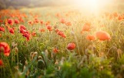 Pavots de floraison scéniques dans la lumière de coucher du soleil d'été image stock