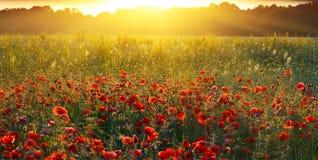 Pavots de lever de soleil Photo libre de droits