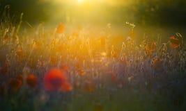 Pavots du soleil d'été avec la fusée de lentille Photo stock