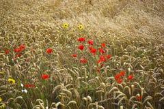 Pavots et blé Photographie stock libre de droits