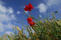 Pavots et blé Image libre de droits