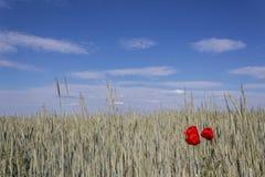 Pavots et champ de blé rouges Images stock
