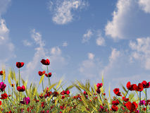 Pavots et ciel d'été Photos libres de droits