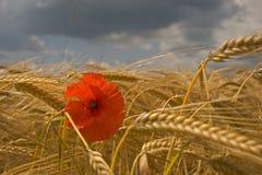 Pavots et maïs Photographie stock libre de droits