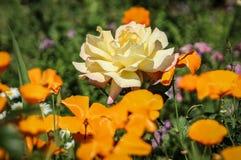 Pavots et Rose blanche au jardin botanique de côte sud, Palos Verdes Peninsula, le comté de Los Angeles, la Californie photo libre de droits