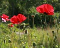 Pavots fleurissant et mûrissant Photographie stock libre de droits
