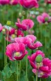 Pavots fleurissants roses de fin Images libres de droits
