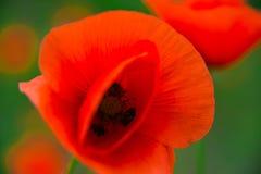 Pavots Fleurs rouges de pavots Pavots dans le jardin Les pavots jaillissent et la fleur d'été, jour d'été Image stock
