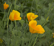 Pavots jaunes Photo libre de droits