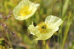 Pavots jaunes Photographie stock libre de droits