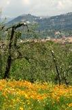 Pavots mexicains de floraison d'or dans un jardin à Florence Images libres de droits