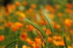 Pavots mexicains de floraison d'or dans un jardin à Florence Photos stock