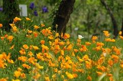 Pavots mexicains de floraison d'or dans un jardin à Florence Photographie stock