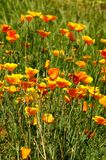 Pavots mexicains de floraison d'or dans un jardin à Florence Photo libre de droits