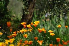Pavots mexicains de floraison d'or dans un jardin à Florence Images stock
